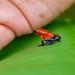 Costa Rica: Strawberry Poison Dart Frog #3 by wanderingYew2