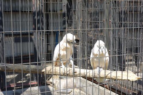 """parrot_1 """"大宮公園小動物園"""" で撮影したオウムの写真。 檻の中の止り木の上で左側から雄のオウムがいやらしい目つきで右に居る雌のオウムに近付いて行こうとしている場面。"""