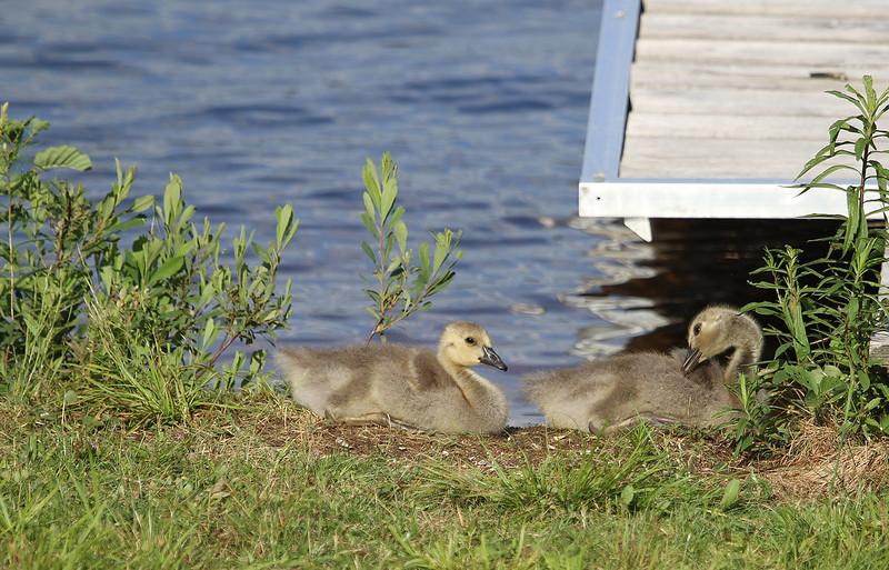 gosling cuties