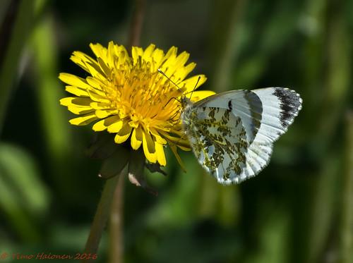 butterfly nikon aurora fx mariposa farfalla sommerfugl vlinder dx fjäril liblikas tagfalter auroraperhonen d5200 päiväperhonen