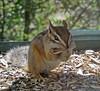 Chipmunk Nibbler