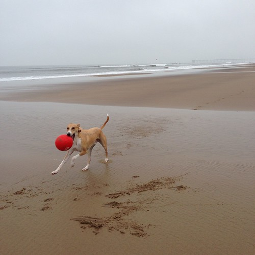 Lurcher. Dog. Rescue dog. Sighthound. Beach. Sea. Sand. County Durham.
