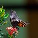 වෙස්ගත්තී [Common Mormon] Papilio polytes - Female by Raveendra Abeysooriya