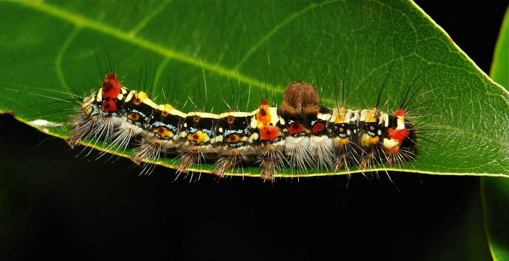 Tussock Moth Caterpillar (Lymantriinae, Erebidae)