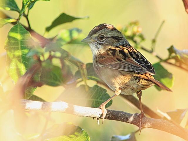 Swamp Sparrow 2-20141113
