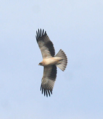 Booted Eagle Aquila pennata Cabranosa, Sagres, Portugal October 2014