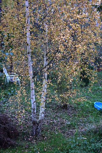 Birch with garden chairs (and half a swimming pool)