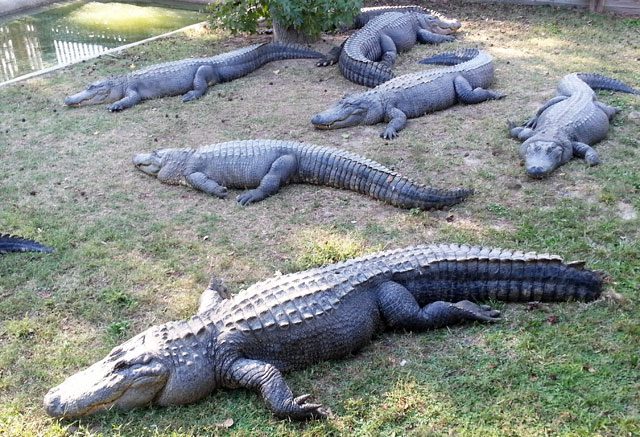 alligators-animal-park