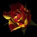 Rosa, Brushstrokes 'Guescolour'... by magda indigo