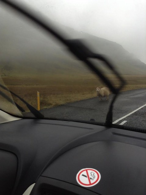 sheep on the road in Iceland