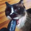 Fangproof #gloves from #BlackDiamond vs. #Hopkins the #Siamese #cat