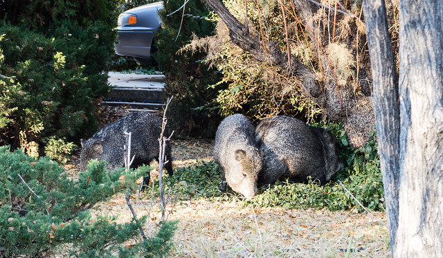 Three Javelina