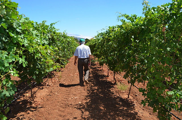 in the Vines, CHP Bodegas, Candelaria, June, Tenerife