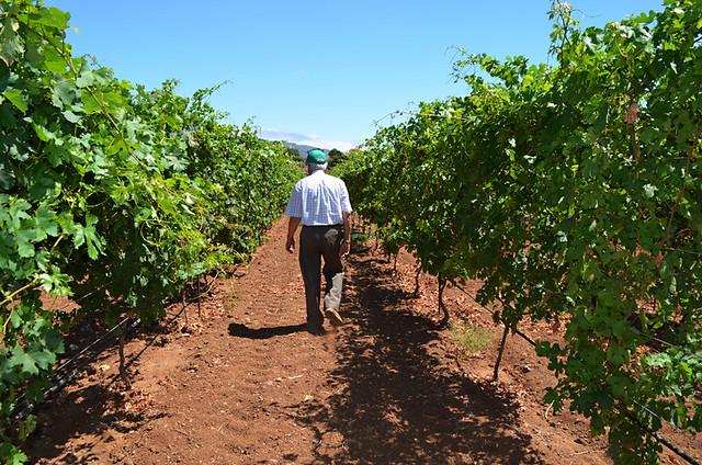 in the Vines, CHP Bodegas, Candelaria, June, Tenerife