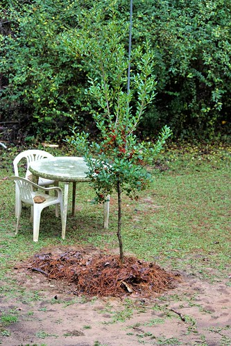 CrabAppleLane Holly Tree - December 28, 2014