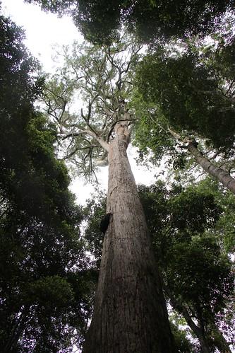 Tallowwood (Eucalyptus microcorys)