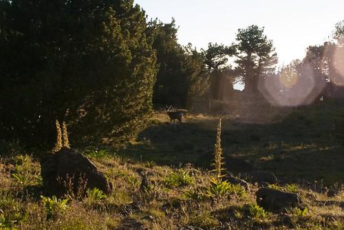 california doe deer mule mammalia odocoileus modoccounty cervidae odocoileushemionus artiodactyla pattersonlake southwarnerrange