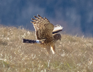 Northern Harrier Hunting.