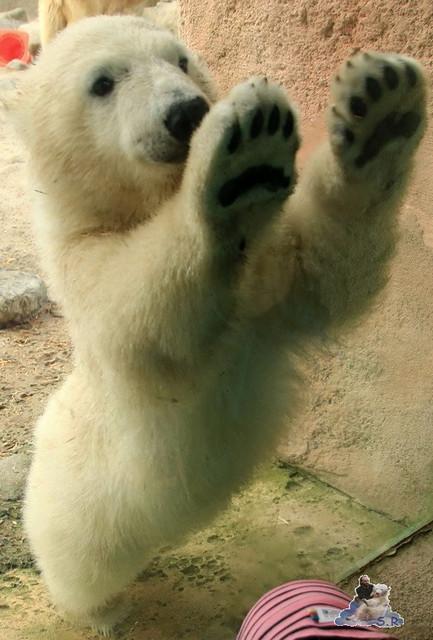 Eisbär Lili im Zoo am Meer Bremerhaven 14.05.2016 Teil 2 024