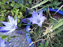 Brodiaea laxa