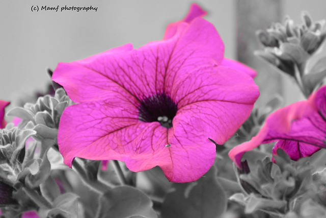Perfect pretty purple Petunia.