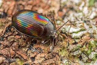 Darkling beetle (Ceropria induta) - DSC_2851