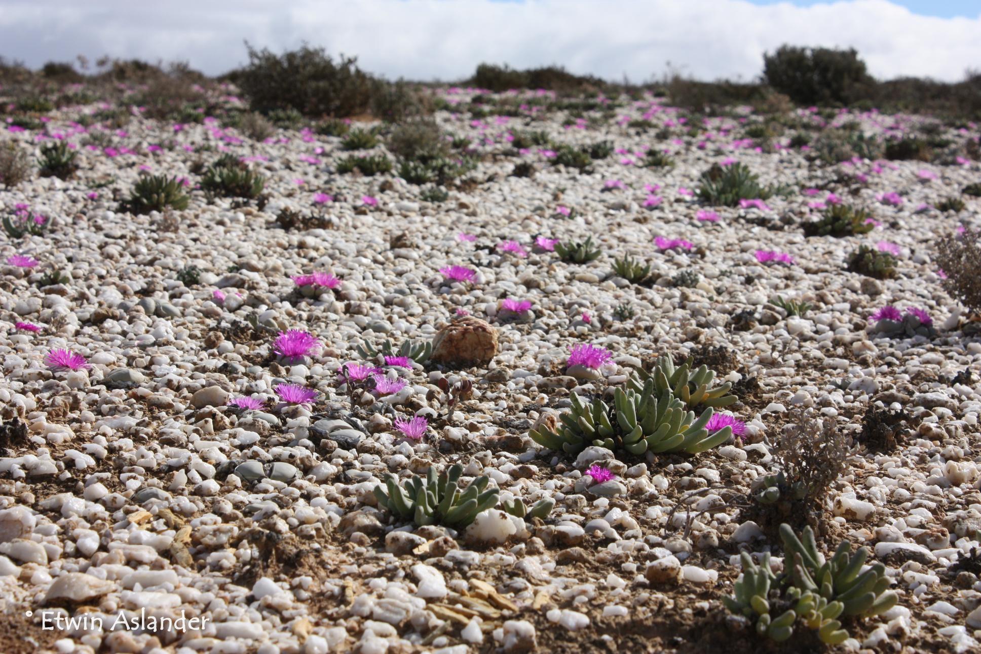 Habitat overview, Argyroderma