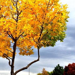 Love the bright yellow leaves! #utah #fall #trees #nature