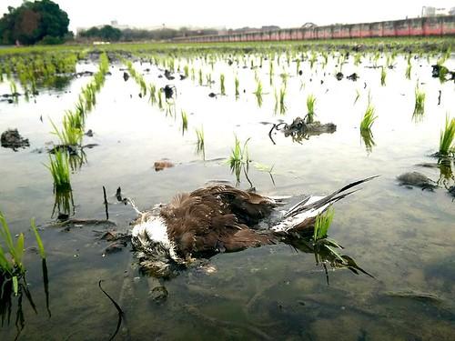 在適合棲息的環境死亡,無路可退。(攝影:陳冠綸)