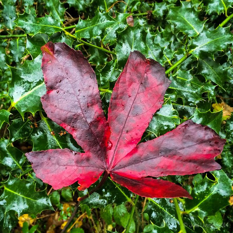 Maple Leaf on Ivy