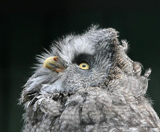Bartkauz (Great Grey Owl)