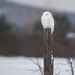 The Snowy Owl by Ron Gallagher Photography