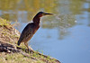 Green Heron, Scottsdale, AZ