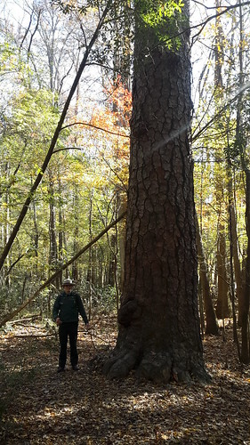 Ranger Jon beside the second oldest loblolly pine in the country.  This 250-year-old beauty stands 157' tall and measures 15' around.