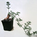 Pelargonium triste by juan_y_ana