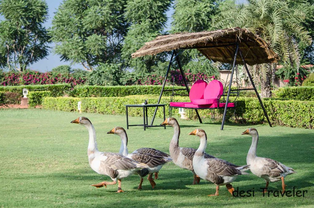 Ducks in garden Pushkar Resorts
