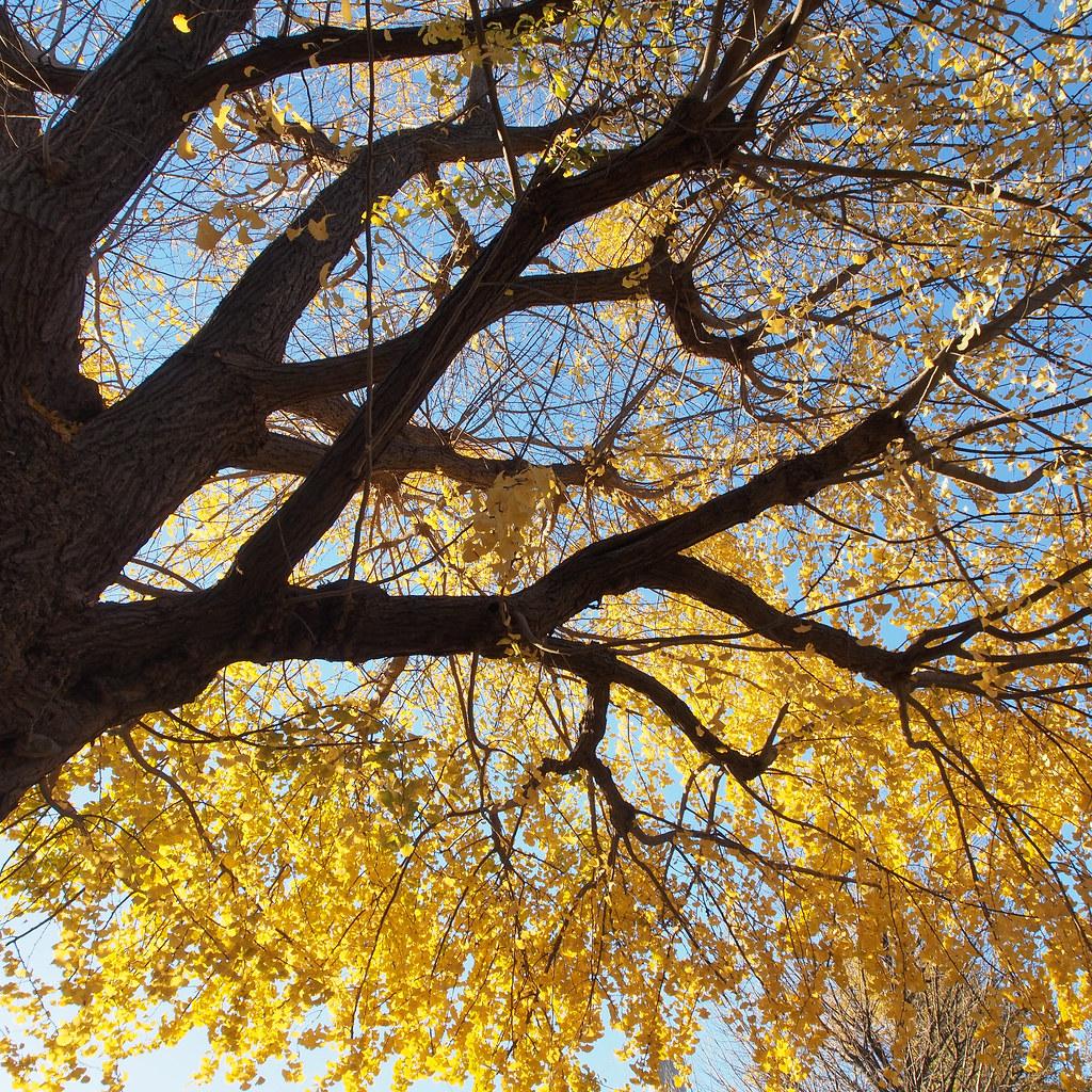 银杏树 Ginkgo