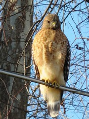Backyard Birds ~ Hawk