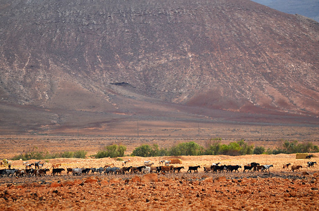 Goats on the move, Fuerteventura