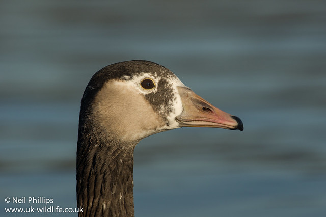 Canada x greylag hybrid goose Anser anser x Branta canadensis_-4