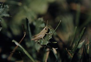 142F Heuschrecke (Calliptamus)