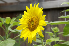 Sunflower 03