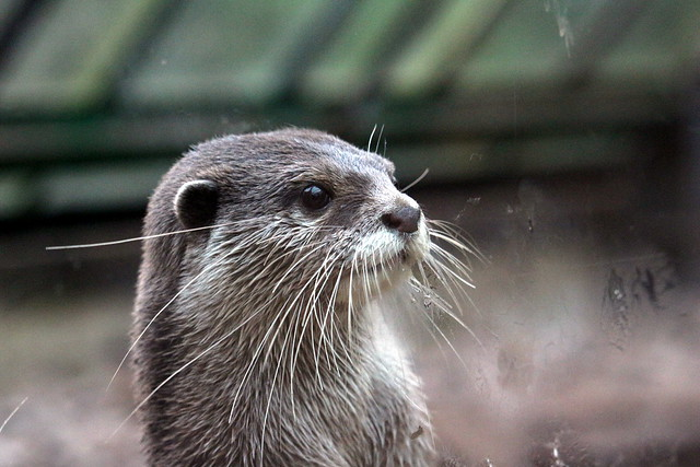 closeup portrait of a young otter. It has tiny semicircular ear, kind deep brown eyes, and splendid, very long whiskers.