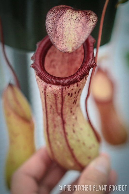Nepenthes Poi Dog