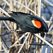 Carouge à épaulettes ♂ / Red-winged Blackbird