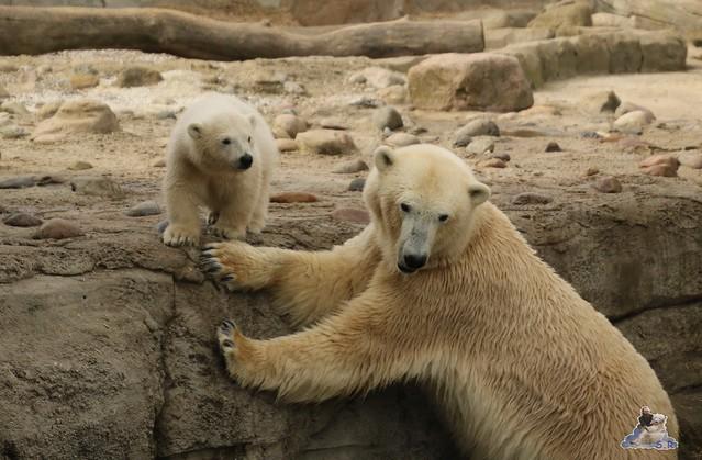 Eisbär Lilli im Zoo Bremerhaven 30.04.2016 Teil 2  113