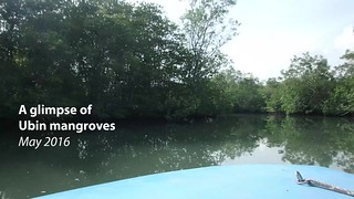 Restore Ubin Mangroves (RUM) Initiative tour of mangroves at Pulau Ubin