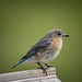 Ricky Floyd has added a photo to the pool:backyard female bluebird