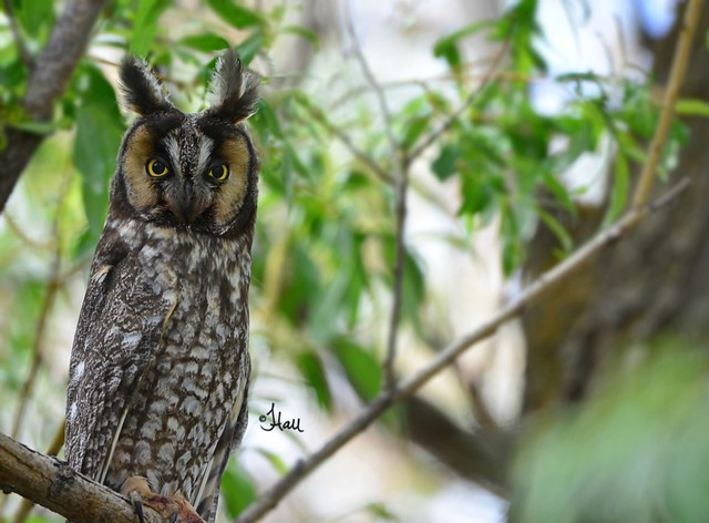 Long-eared Owl - 6217b+