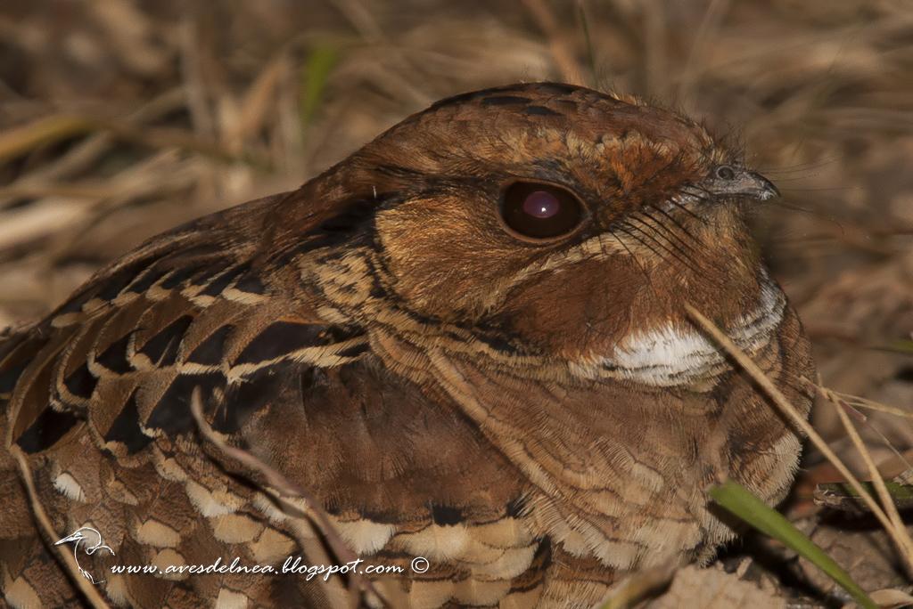 Curiango (Pauraque) Nyctidromus albicollis